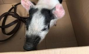 חזיר במנוסה (צילום: מתוך עמוד הטוויטר של @SgtMarkShepherd)