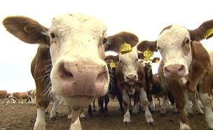 פרות ברמת הגולן (צילום: החדשות)