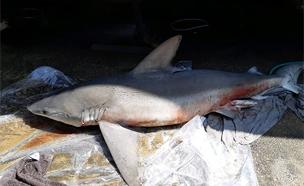כריש מת נסחף לחוף ים בנהריה (צילום: מנור גורי, רשות הטבע והגנים, חדשות)