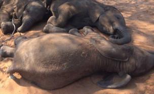 רצח פילים (צילום: פייסבוק\Elephants Without Borders)