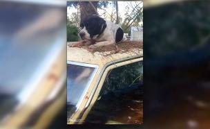 צפו בחילוץ הכלבים שנתקעו בשיטפון (צילום: רויטרס, חדשות)