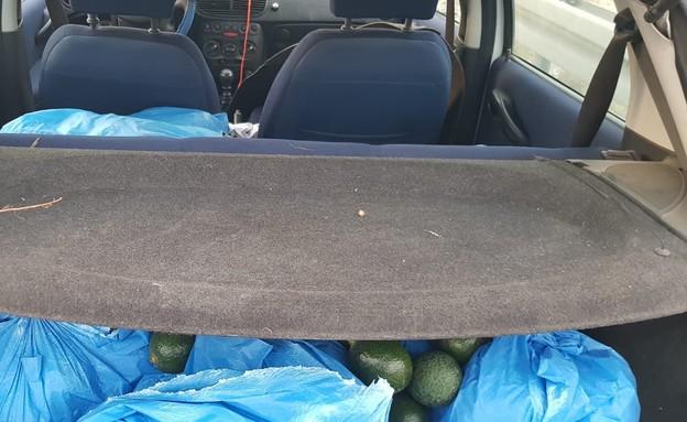 תפיסת אבוקדו שנגנב ליד כברי (צילום: דוברות משטרת ישראל)