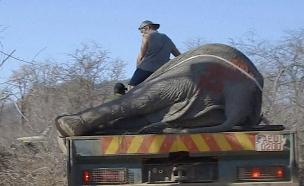 איך מזיזים ומצילים 100 פילים? (צילום: AP, חדשות)
