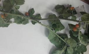 """צמח הסולניום השעיר שצולם ע""""י הסייעת (צילום: המרכז הרפואי זיו בצפת, חדשות)"""