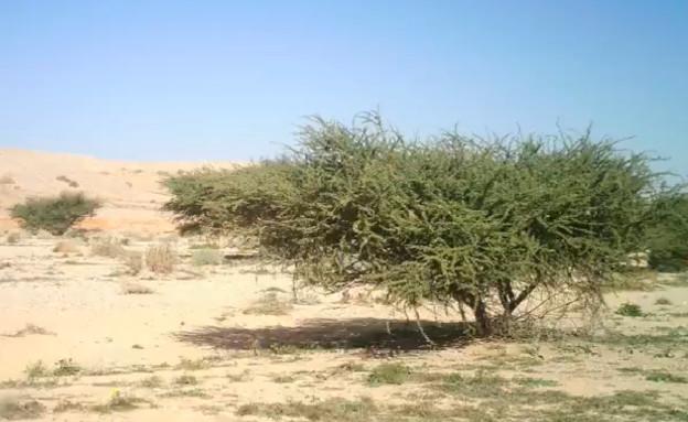 """עץ מיוחד בישראל (צילום: ד""""ר גדעון וינטרס)"""