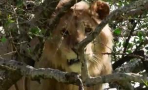 אריה על עץ (צילום: טוויטר\CronicaVirales)