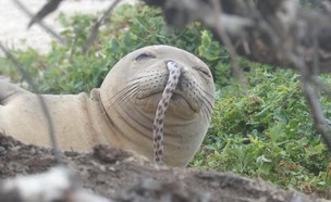 כלב ים נזירי (צילום: Hawaiian Monk Seal Research Program, facebook)