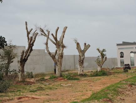 עצים_לאחר_העתקה_אם_ישרדו_תמיד_יהיו_עצים_מסוכנים