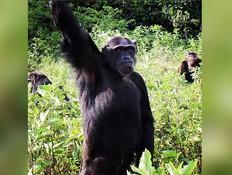 מטורף: קהילת קופים אוכלי אדם הפכה לאטרקציה