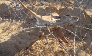 הצבי שנתפס בגדר הגבול (צילום: צבא הגנה לטבע, חדשות)