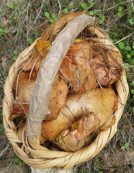 ליקוט פטריות ניצן - שחרחרית (צילום: ניצן לנגר, אוכל טוב)