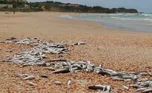 זיהום בחוף פלמחים. ארכין (צילום: גיא כהן, חדשות)