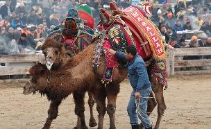 קרבות הגמלים - תופעה מקוממת שיש לעצור (צילום: חדשות)