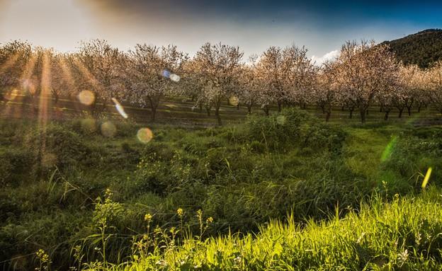 שקדיות ליד הנחל (צילום: לימור הולץ)