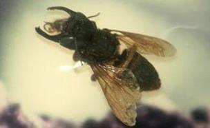 צפו בדבורת הענק (צילום: Stavenn\wikipedia, חדשות)