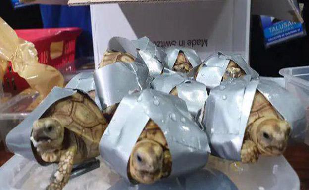 """הצבים שנמצאו בנמה""""ת של מנילה (צילום: BUREAU OF CUSTOMS NAIA/Facebook, חדשות)"""