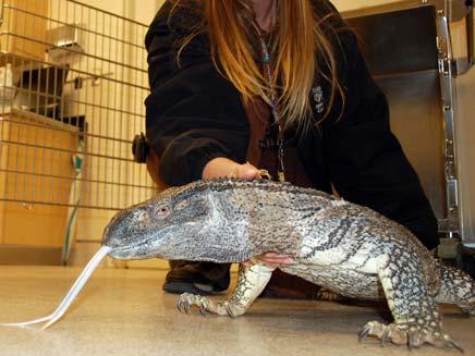 לטאות הדרקון, בין בעלי החיים שנתפסים בנמ (צילום: AP, חדשות)