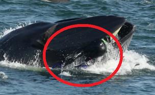 צוללן נבלע על ידי לוויתן (צילום: Barcroft Animals\יוטיוב, Heinz Toperczer)