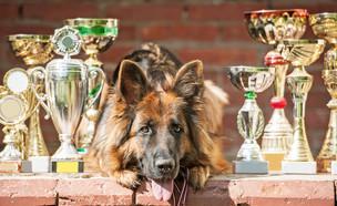 כלב מסוג רועה גרמני עם גביעים (אילוסטרציה: kateafter | Shutterstock.com )
