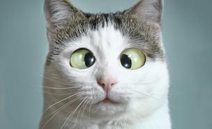 חתול פוזל (צילום: shutterstock)
