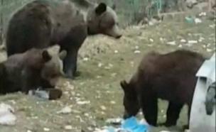 תיעוד: כך דוב מורעב תקף בדיר0 (צילום: protv, חדשות)
