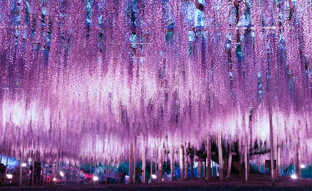 פארק פרחים אשיקגה (צילום: Shutterstock - jirobkk)
