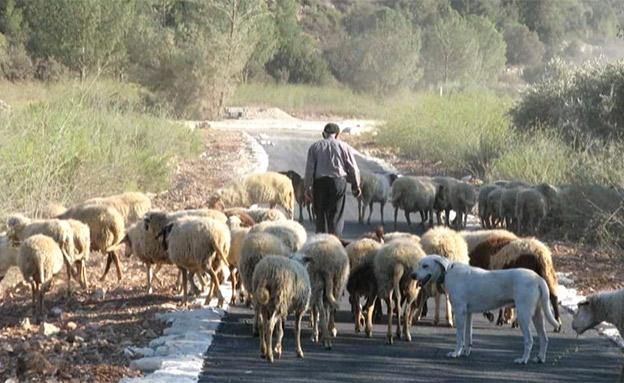 רועה צאן, ארכיון (צילום: אורלי שגב, חדשות)