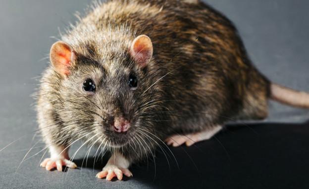 עכברוש בדירה (צילום: By Dafna A.meron, shutterstock)