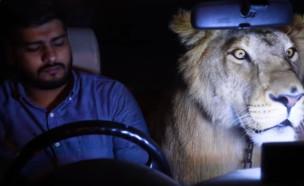 אריה ברכב (צילום: יוטיוב\Barcroft Animals)