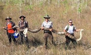 """הנחש שנלכד: 5 מטר, 65 ק""""ג (צילום: national park service, florida, חדשות)"""