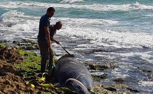 הלווייתנית שנמצאה (צילום: רותם שדה, רשות הטבע והגנים, חדשות)