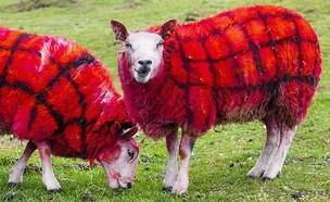 כבשי טארטן (צילום: olivergburke, twitter)