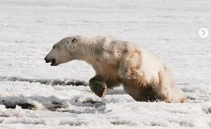 דוב הקוטב שנסחף והוחזר הביתה (צילום: אינסטגרם alinaukolov@)