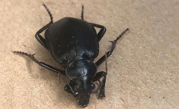 """הכירו את החיפושיות השחורות (צילום: ד""""ר אורי שלום המשרד להגנת הסביבה, חדשות)"""