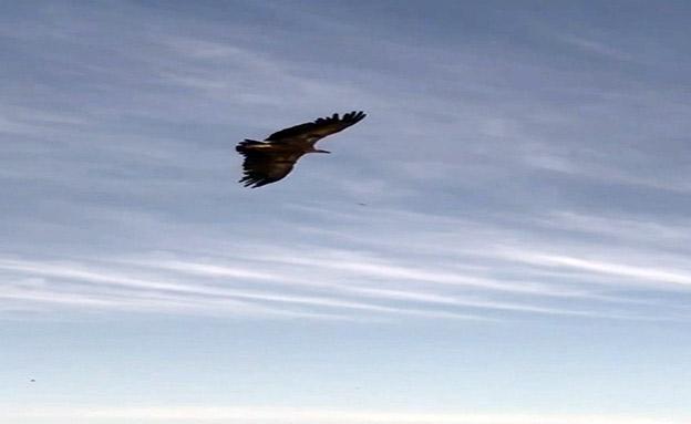 הנשר שהורעל חזר אל הטבע (צילום: החדשות)