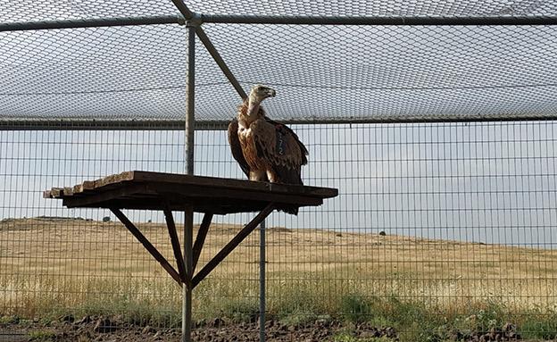 הגעת הנשר המורעל לשמורת גמלא (צילום: נועה מורד רשות הטבע והגנים, חדשות)