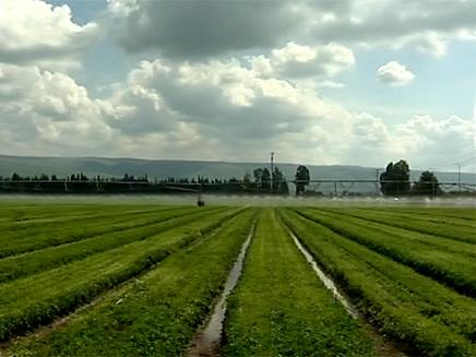 שדות חקלאיים בגליל, גידולי קנאביס