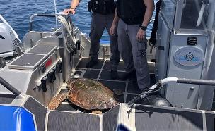 צפו: מבצע ההצלה של צב הים הפצוע (צילום: דוברות המשטרה, חדשות)