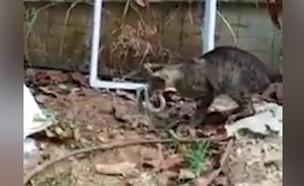 """חתולה קוטלת נחש (צילום: באדיבות """"חדשות בזמן"""")"""
