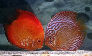דגים ציקלידם דג (צילום: רויטרס, חדשות)
