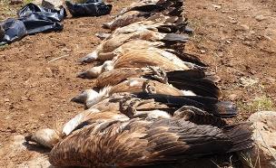 נשרים מתים ברמת הגולן (צילום: דודו פילס רשות הטבע והגנים, חדשות)