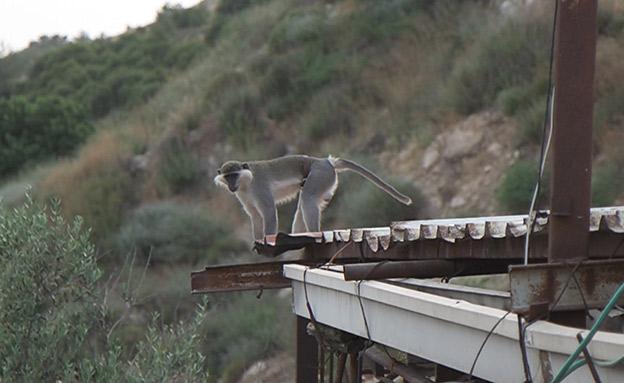 הקוף הלבנוני שהסתנן לישראל (צילום: החדשות)