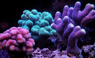 אלמוגים זוהרים (צילום: Vojce, shutterstock)
