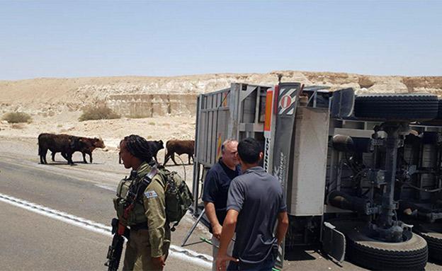 התהפכות משאית עם פרות בצומת הערבה (צילום: גדי גוהר מועצה אזורית ערבה תיכונה, חדשות)