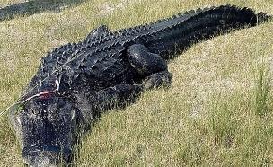 התנין שבבטנו נמצאה הגופה (צילום: Polk country sherriff's office, חדשות)