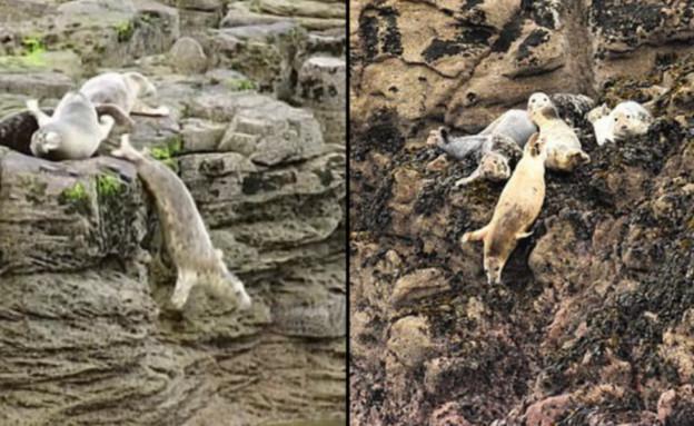 כלבי ים (צילום: Cornwall Seal Group Research Trust)