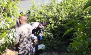 תפיסת חשוד בגידול קנאביס (צילום: דוברות המשטרה)