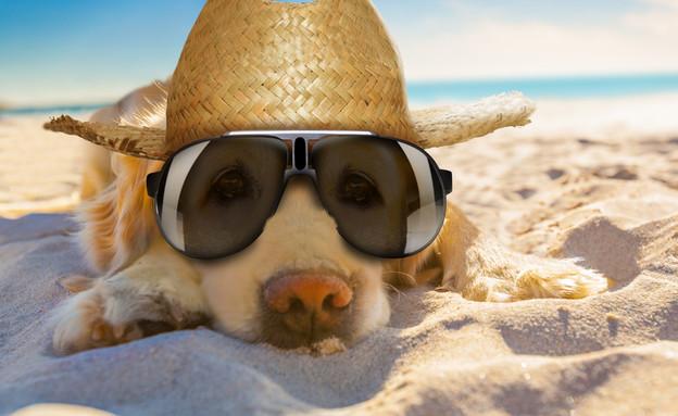 כלב בים עם משקפי שמש  (צילום: By Dafna A.meron, shutterstock)