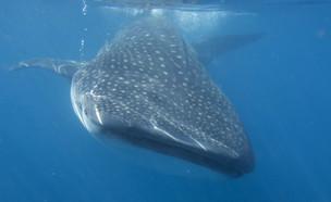 כריש לוויתן במפרץ אילת  (צילום:  none, רשות הטבע והגנים)