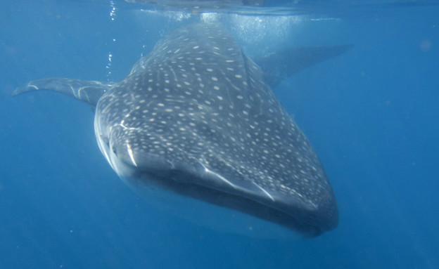 כריש לוויתן במפרץ אילת  (צילום: רשות הטבע והגנים)